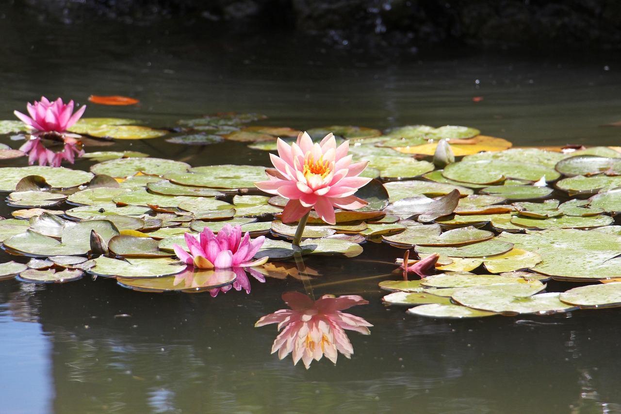 Napier Water Lilies.jpg